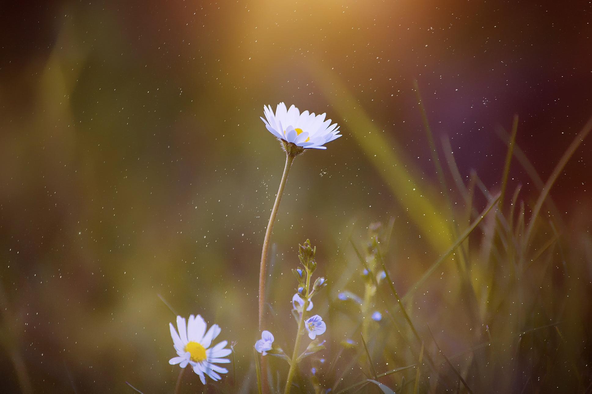 flower macro daisy soft